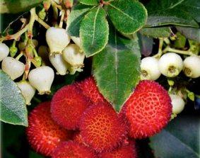 Arbutus-unedo-corbezzolo tricolore